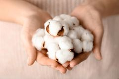 Woman holding cotton flowers. Closeup Royalty Free Stock Image