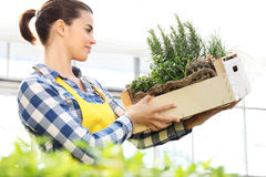 Woman holding a crate of aromatic herbs, working in greenhouse Royalty Free Stock Photos