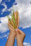 Woman holding crops to the sky. Woman holding wheat crop agains bright blue sky - concept for hope, wealth and nutrition stock image