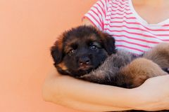 Woman holding cute shepherd puppy on wall background stock image