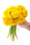 Woman holding dandelion flowers. Isolated on a white background royalty free stock photo