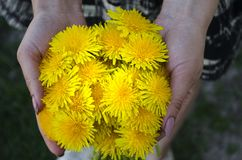 Woman holding dandelions in her hands royalty free stock image