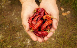 Woman holding dried red pepper Stock Photography