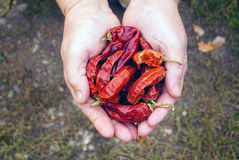 Woman holding dried red pepper Stock Image