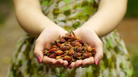 Woman holding a dried rose hips Stock Photography