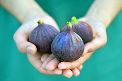 Woman holding figs in the hands. Black fig in girl`s handsrn Royalty Free Stock Images