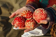 Woman holding fly agaric mushrooms in her hands stock photos