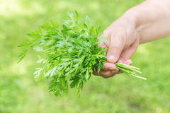 Woman holding a fresh organic parsley Stock Images