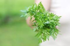Woman holding a fresh organic parsley Royalty Free Stock Image
