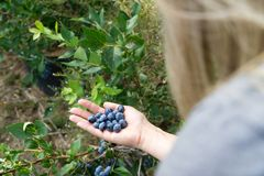 Woman is holding fresh picked blueberrys on a blueberry field. royalty free stock images