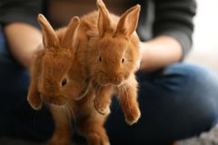 Woman holding funny red rabbits,. Closeup Royalty Free Stock Images