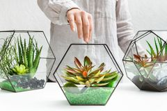 Florariums on table. Home gardening hobby concept. Woman holding glass geometric florarium vase with mini succulent garden and two florarium vases at table. Home stock image