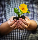 Woman holding a green young plant with yellow flower in her hand. S. Spring and ecology concept Stock Photos