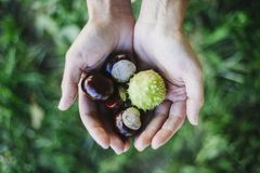 Woman holding handful of fresh Chestnuts picked from the forest royalty free stock image