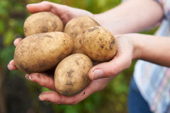 Woman Holding Home Grown Potatoes Royalty Free Stock Photos