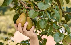 Free Woman Holding In Her Hand And Ripping Two Pears From A Tree Branch With Leaves Stock Photos - 161179163