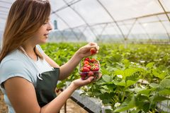 Woman holding a juicy bitten strawberry into the camera,strawber Royalty Free Stock Photography