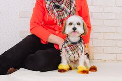 Woman holding lap dog with creative hairstyle in her hands after grooming. Grooming concept royalty free stock photo