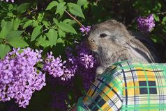 A little rabbit in the arms of a woman. royalty free stock photos