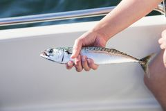 Woman holding mackerel in boat at sea Stock Image