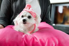 Woman holding a maltese dog. Dressed in a cap with hearts Stock Photos