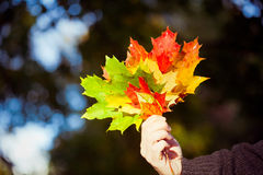 Woman holding maple leaves Royalty Free Stock Images