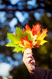Woman holding maple leaves Stock Images