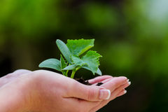 Woman holding plant in her hand Royalty Free Stock Images