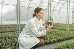 Woman holding potted plant in greenhouse nursery. Seedlings Gree. Nhouse. Agriculture Royalty Free Stock Photography