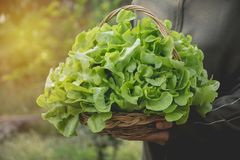 Woman holding raw fresh green vegetable in basket on nature back Stock Image