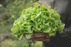 Woman holding raw fresh green vegetable in basket on nature back Royalty Free Stock Photo