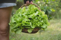 Woman holding raw fresh green vegetable in basket on nature back Stock Photo