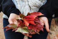 Woman Holding Red Brown and Green Maple Leaf Stock Photography