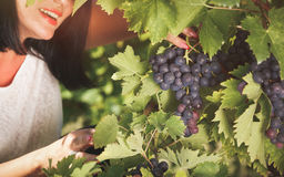 Woman holding a red grape cluster Stock Photography