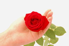 Woman holding a red rose Royalty Free Stock Image