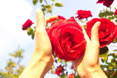Woman holding a red rose flower closeup stock image