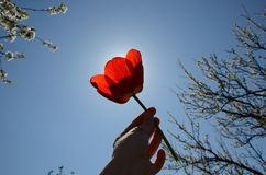 Woman holding red tulip against sun.Sunny warm day at the park royalty free stock image