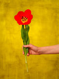 Woman holding a red tulip Royalty Free Stock Photos