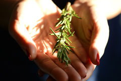 Woman holding a rosemary brunch in her cupped hands. Woman holding a rosemary brunch in her hands Royalty Free Stock Photos