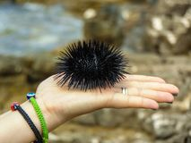A woman holding a Sea urchin in her hand royalty free stock photography