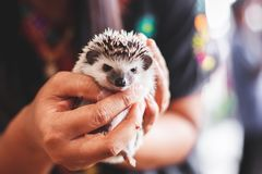 Woman holding small Hedgehog porcupine stock images