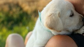 Woman holding small labrador puppy dog on her shoulder stock video