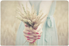 Woman holding some corn spikes Royalty Free Stock Photo