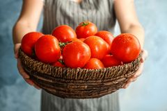 Woman holding wicker bowl with ripe tomatoes. Closeup Stock Image