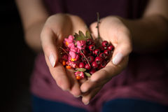 Woman holding wild rose hips in hands. Young woman holds red wild rose hips in heart-shaped hands Royalty Free Stock Images