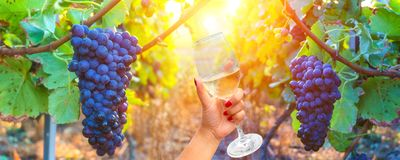 Woman holding a wine glass on vine grapes in champagne region in autumn harvest background. France royalty free stock image