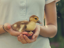 Woman holding yellow duckling outdoors Stock Photos