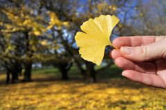 Woman holds a Maidenhair tree yellow leaf. Woman holds a beautiful, bright Maidenhair tree yellow leaf in a peaceful forest during the fall season Royalty Free Stock Photo