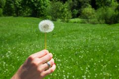 Woman holds a dandelion and blows on it. Woman hand holding a dandelion against the green meadow Stock Photo