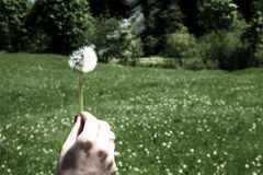 Woman holds a dandelion and blows on it. Woman hand holding a dandelion against the green meadow. Bleach photo Stock Photography